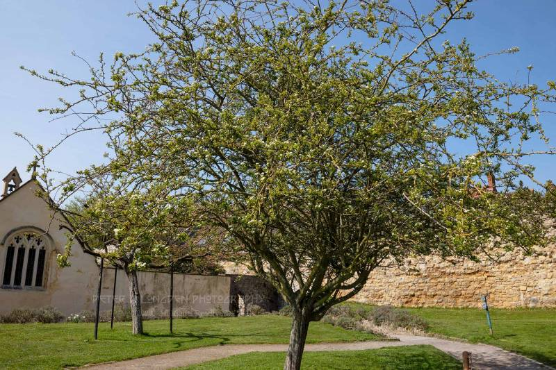 The Holy Thorn, Glastonbury Abbey
