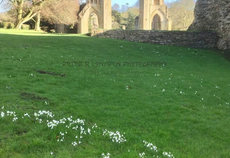 Glastonbury Abbey Snowdrops